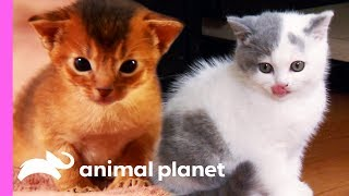 Download Top 3 Cutest Kitten Moments | Too Cute! Video