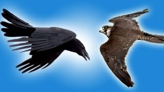 Download Falcon vs Raven in Slow Motion | Slo Mo #25 | Earth Unplugged Video