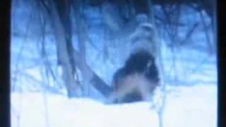 Download Wolverine vs Wolf Packs, WOLVERINE DESTROY WOLVES 7 DIFFERENT TIMES ON VIDEO ! Video