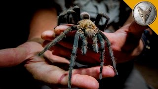 Download Giant Tarantula Shows Its Fangs! Video