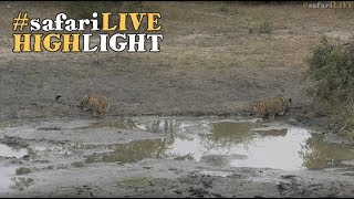 Download An adrenaline filled morning with these two beautiful leopards! Video