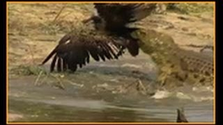 Download Crocodile attacks Vulture Video