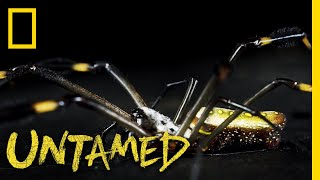 Download A Truly Golden Spider | Untamed Video