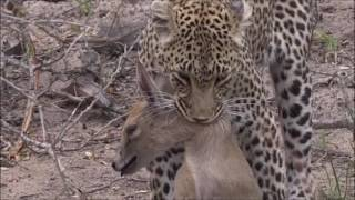 Download Safari Live : Queen Karula takes down a Grey Duiker as seen on drive today Oct 09, 2016 Video