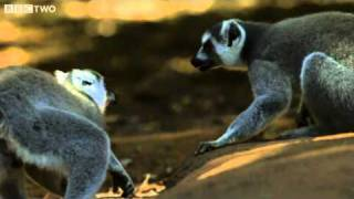 Download Love Is In The Air - Madagascar, Land of Heat and Dust, Preview - BBC Two Video