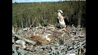 Download Sibling rivalry: Smallest osprey chick attacks nest mate, June 2012 Video