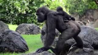 Download El bebé gorila Pepe cumple 6 meses en BIOPARC Valencia (#ExperienciasBioparc) Video