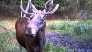 Download Obserwator 51: Z życia łosi / Scenes from life of an elk Video