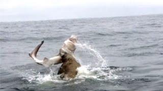 Download Epic Seal Versus Shark Battle Video