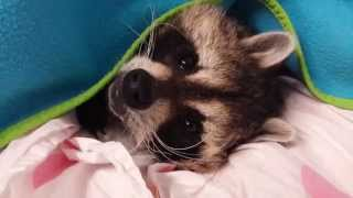 Download Buster Raccoon does not like the cold weather. He needs some motivation to wake up. TREATS!!!! Video