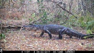 Download Swamp Trail Camera Pickup Video