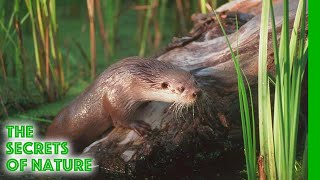 Download The Otter's Trail - The Secrets of Nature Video