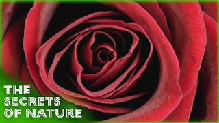 Download Rose - Queen of Flowers - The Secrets of Nature Video