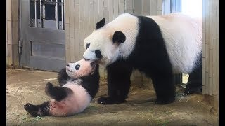 Download パンダのシャンシャン、誕生から1歳までの記録 Video