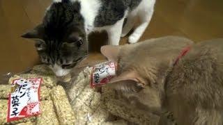 Download ♂猫だいずが床でウ◯チ🎵 粗相問題は一進一退です😅【猫日記こむぎ&だいず】2017.06.17 Video