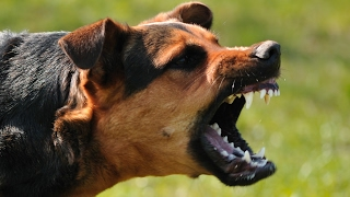 Download A Navy SEAL explains what to do if you're attacked by a dog Video