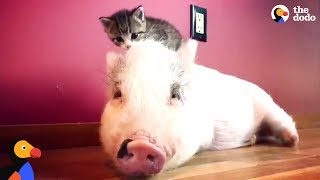 Download Pig Raised By Cats Thinks He's One Of Them Now - DRAGONLORD UPDATE | The Dodo Video