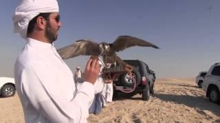 Download Falcon vs Pigeon AlSarami 2013 هدد حمام المطوع للصقور الصرامي HD Video