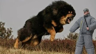 Download Top 25 Most Dangerous Dog Breeds in the World Video