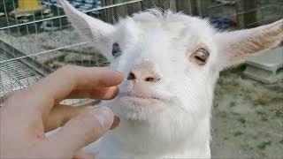 Download ヤギの赤ちゃん / 東山動物園 (子供動物園内) Video
