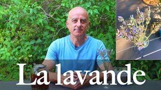Download Lavande (Lavandula angustifolia) : calmante et tonifiante Video