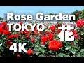 Download [4K]TOKYO 神代植物公園のバラ Rose in Jindai Botanical Garden バラの名所 東京観光 Travel Video