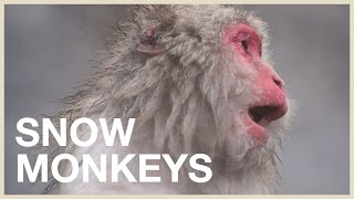 Download Visiting the Japanese Snow Monkeys: Cutest animals in Japan (trip) Video