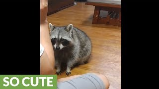 Download Talented raccoon shows off vast array of tricks Video