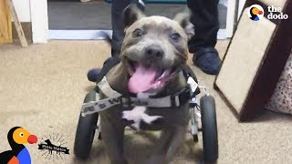 Download Rescued Pit Bull Puppy Runs For The First Time - CANTU | The Dodo Pittie Nation Video