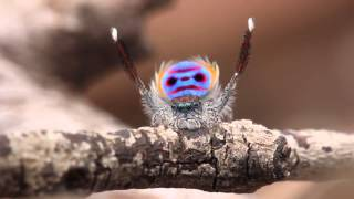 Download Peacock Spider Dances to YMCA Video