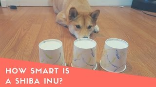 Download How Smart is a Shiba Inu Dog? Intelligence test! Video