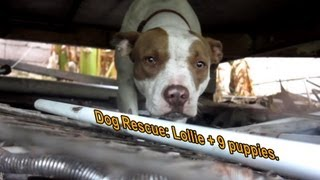 Download Dog Rescue: Pregnant Pit Bull with 9 puppies - Please share so we can find her a home. Video