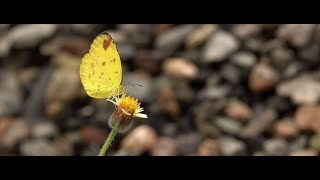 Download Close up of a tiny butterfly (RX10 Mark IV) Video