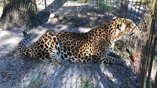 Download Leopards Get Special Treats Video
