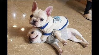 Download Funny and Cute French Bulldog Puppies Compilation #6 - Cutest French Bulldog Video
