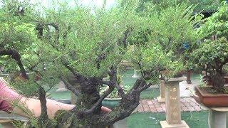 Download Vua của các loại tùng, nghệ nhân INDONESIA rất thích cây này - beautiful bonsai trees Video