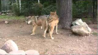 Download International Wolf Center September 10, 2010 Video