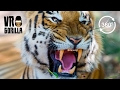 Download The Eye Of The Tiger 360° VR Experience Video