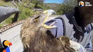 Download Starving Eagle Rescued from Well | The Dodo Video