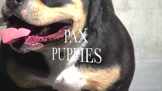 Download Cães American Bully Pocket Micro Extreme Exotic Bullies Tricolor Blue Lilac Choco Video