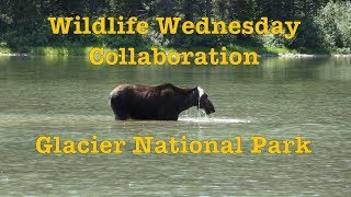 Download Wildlife Wednesday Collaboration - Sighting Her First Moose in Glacier National Park Video