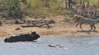 Download Herd Rescues Buffalo from Lions and Crocodiles! Video