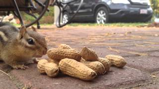 Download Chipmunk eating peanuts Video