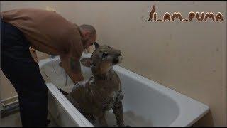 Download Как помыть пуму. Часть 1 СТИРКА How to wash puma. Part 1 the WASH Video