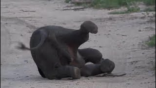 Download SafariLive Jan 11 - Cuteness overload...a tired baby Elephant! Video