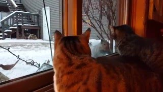 Download Cat Teased By Squirrel One Too Many Times Video