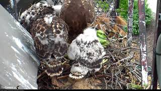Download Arthur Swoops in With a Frog, BR Follows and Feeds Chicks – May 22, 2018 Video