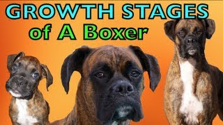 Download The Growing Stages of a Boxer (2 months-2 years) BROCK THE BOXER DOG Video