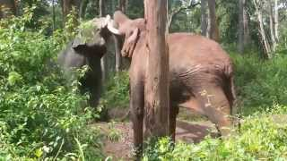Download ELephant Fighting in Thitimati Forest, Kodagu District Video