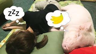 Download ミニブタと全く同じ体制で寝てる女性がいるんですが・・・【つくね】 Video
